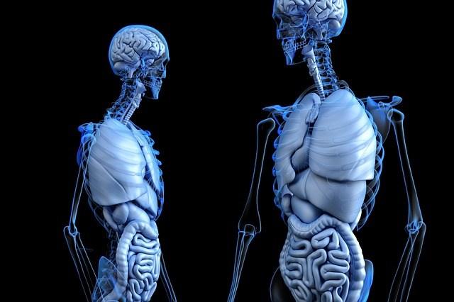 Two human anatomies